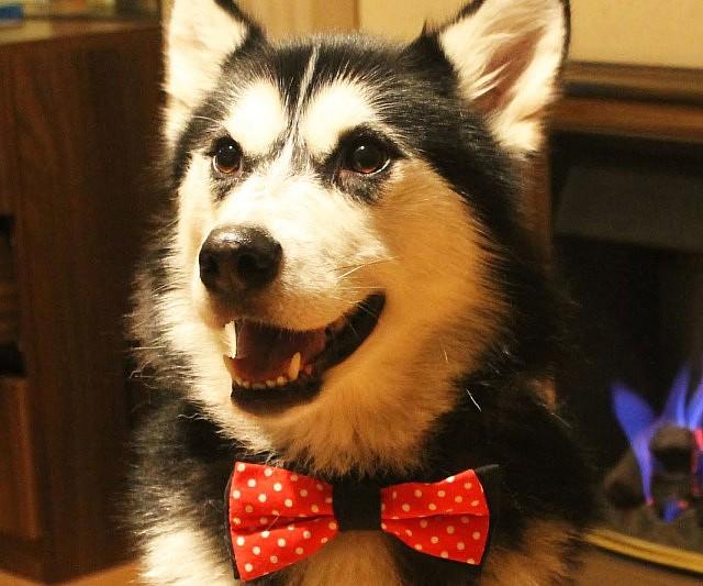 corbata moño para perros